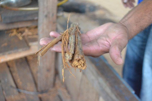 Les jeunes en quête de spiritualité menacent l'existence même de l'ayahuasca