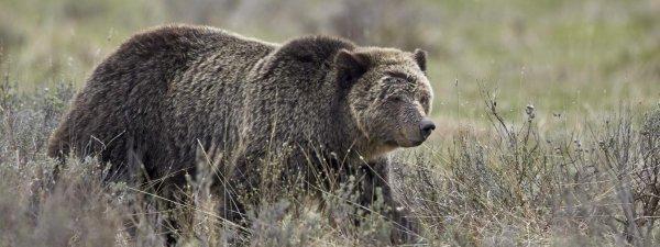 Etats-Unis : les grizzlis de Yellowstone retirés de la liste des animaux protégés