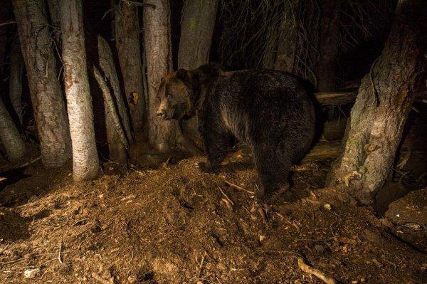 La fin de la protection des grizzlis de Yellowstone suscite la controverse