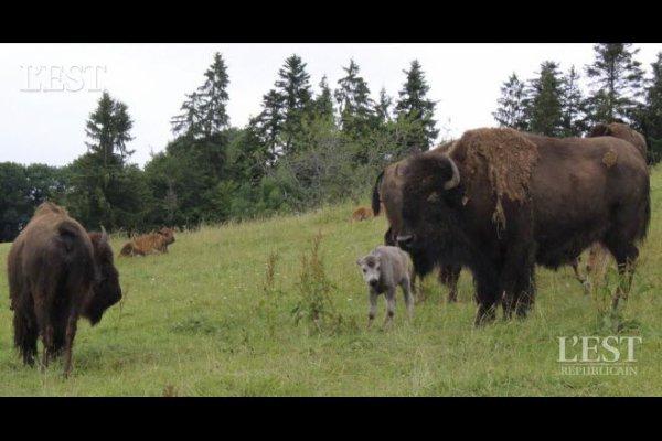Damprichard  Naissance d'un bisonneau blanc à la ferme du Sachuron