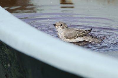 Gobemouche gris au bain