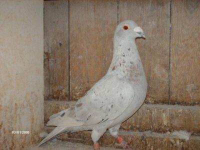 mon 631382.04 7prix cette annee dons un7 ieme a chalons sur1136 pigeon  il  m'a donner du bon et du super cher  phillipe choquet un junior avec 9prix en 2010 as pigeon