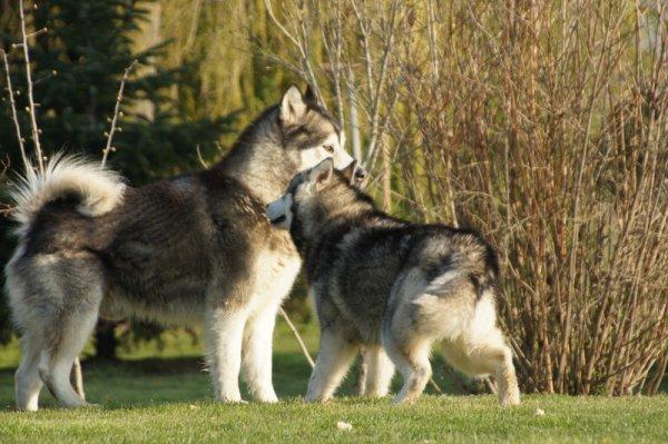 Fjallen des Rives de l'Ourse (Black Kodiak of Mountain Pack x Bel' Askane des Rives de l'Ourse)