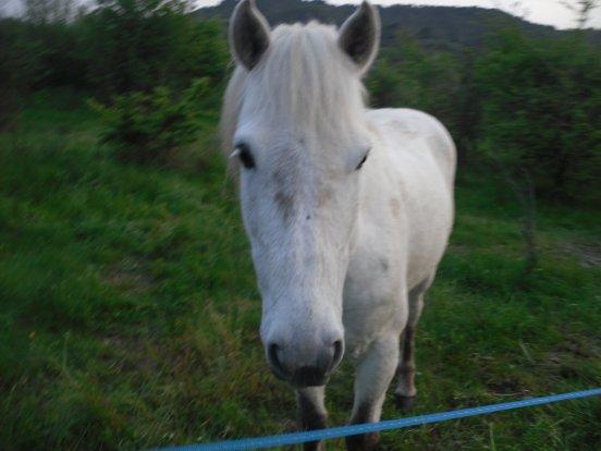 manifique cheval camarguais