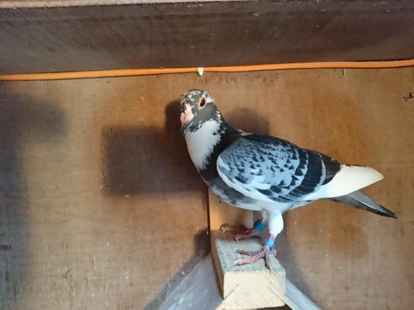 """Narbonne 5ème pigeon pigeon de chez mon père comme quoi il a encore de bon pigeon qand on les exploite bien c est un petit fils de """"gamin"""" 12e depot sur 43 prix"""