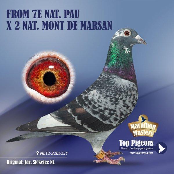 Pearl en personne femelle attitré du Barcelone de Jac Steketee sera la future femelle de gamin il y a actuellement deux jeunes de pearl a vendre sur top pigeon nl a 800e