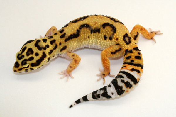 gecko leopard BANDIT