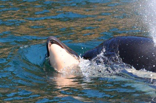 Une orque continue de transporter le cadavre de son petit encore 8 jours après sa mort