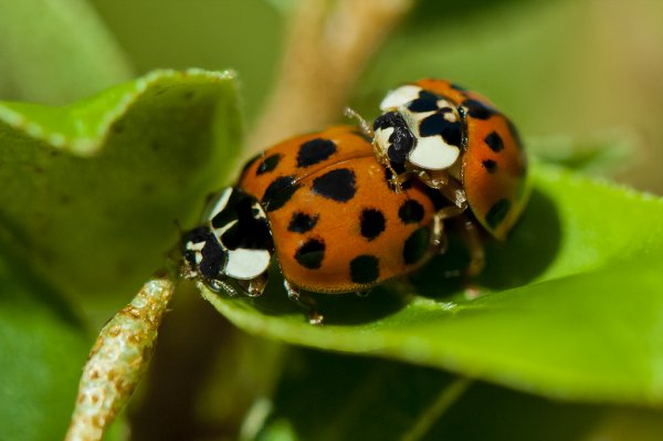Coccinnelle