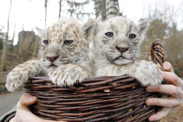 Deux b b jaguar blanc species of animal - Bebe du jaguar ...