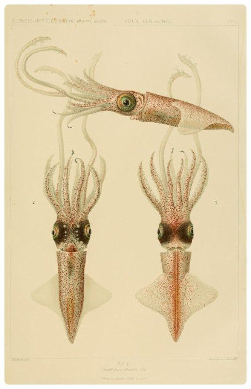 Abraliopsis Morisii