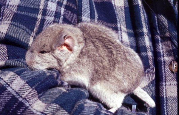Rat-chinchilla cendré (abrocoma cinerea)