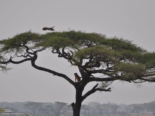 Entre lions et léopard