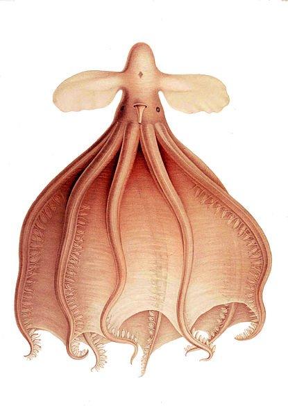 Cirrate de Murray (Cirrothauma murrayi)