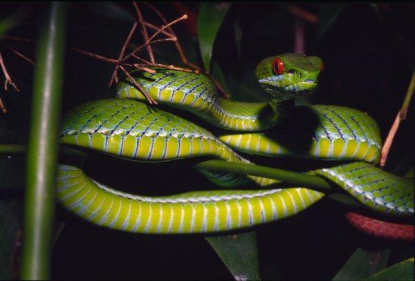 (Trimeresurus rubeus)