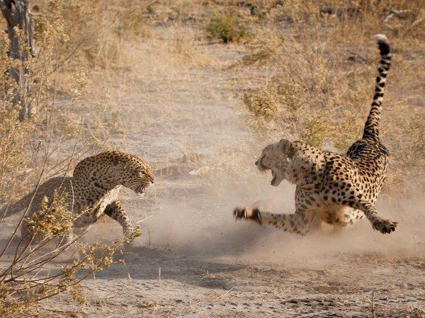 Rencontre entre un léopard et un guépard