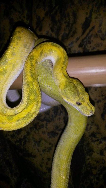 morelia viridis padaido F1 nc 2012