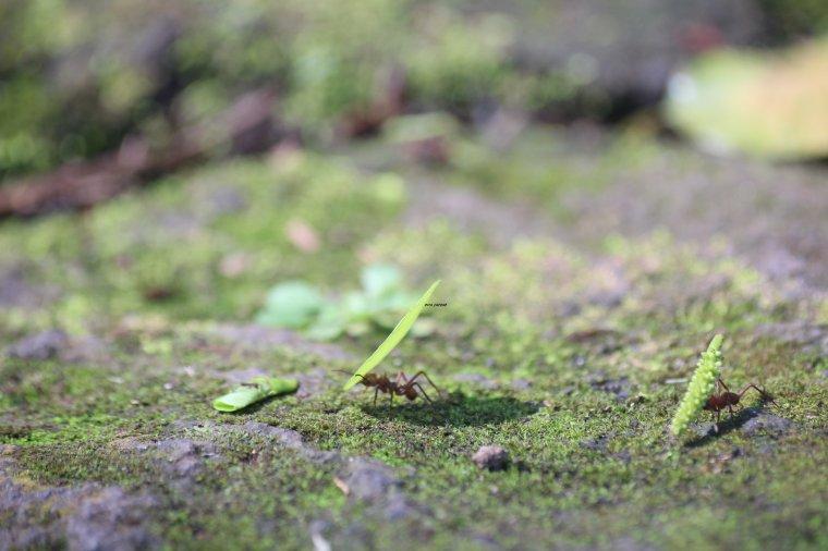 parc archéologique des roches gravées trois rivière; fourmis manioc