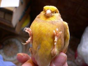 Phaeos amarillos.(Aguilar)