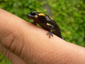 Salamandra por mi jardin!!
