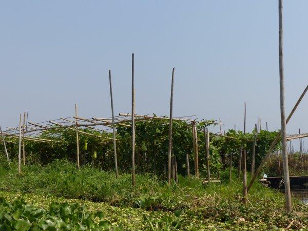 Myanmar 20 : Les jardins flottants