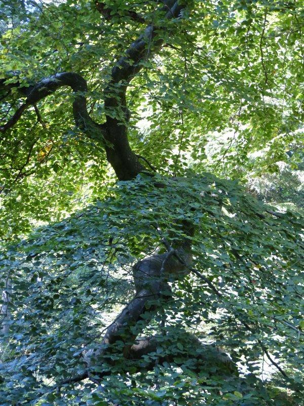 Reims : les Faux de Verzy