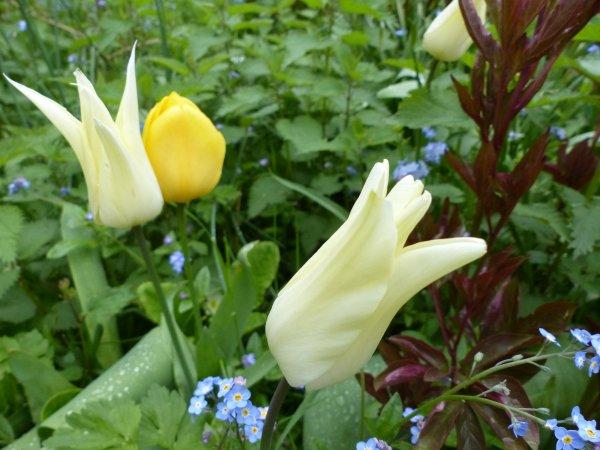 Hollande : Histoire de la tulipe