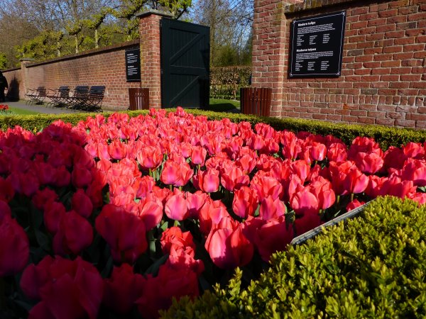 Hollande :  Les tulipes du parc Keukenhof