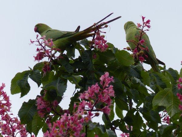 Les perruches de Longjumeaux