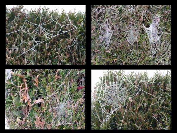 La broderie des araignées, de la plus simple à la plus compliquée. Seul le froid avec l'humidité a permis de les voir.