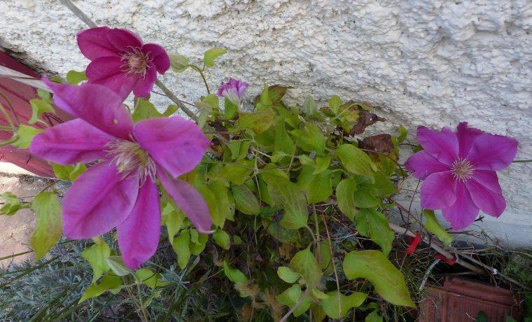 La clématite continue d'ouvrir ses fleurs