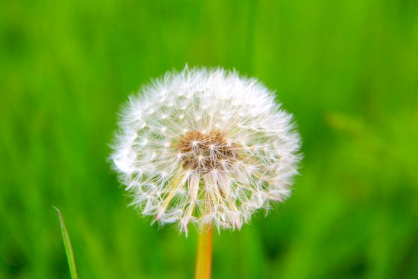 N°5 : THE LIFE OF A DANDELION