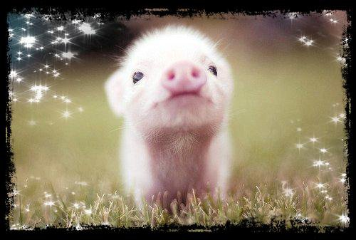 Petit cochon :3