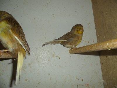 femelle gloster  consort cinnamon jaune