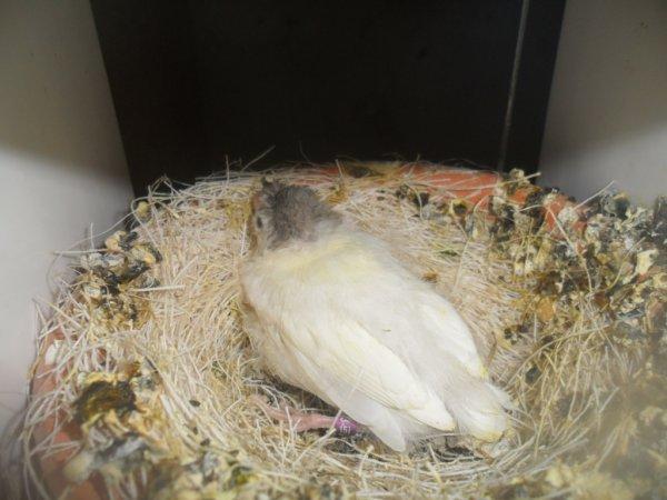 Jeune huppé allemand de 26 jours ils vient de sortir du nid