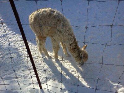 Aujourd'hui, en patin (Domaine de la Forêt Perdue <3) -- Les Lamas<3