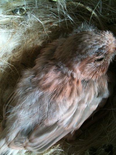 givani nel nido 2010 agata topazio rosso avorio intenso