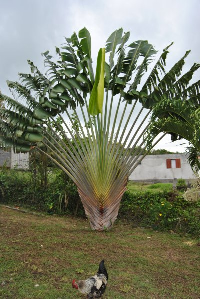 photos de gwada l'arbre du voyageur
