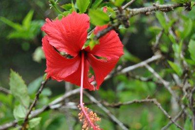 jolies fleurs de gwada