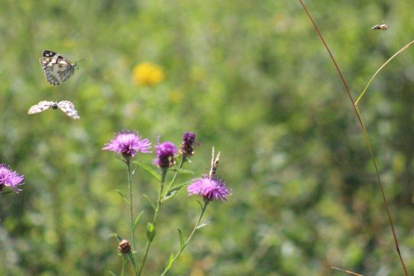 Papillons juillet 2015