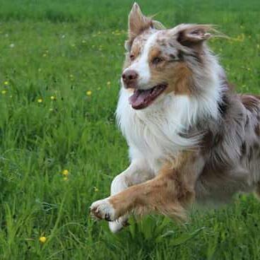 Itchi mon chien  un berger  australien  avril 2016