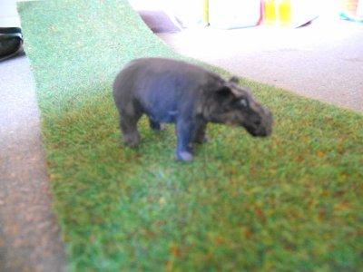 C'est la remorque-cage de l'hippopotame.