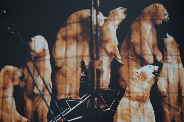 Les ours polaires de Ursula Bottcher :