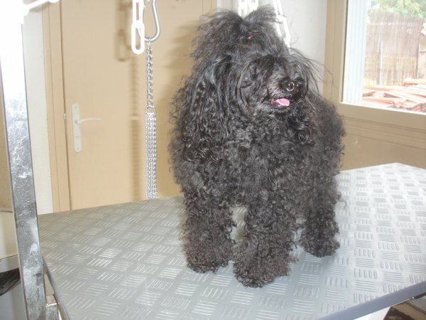 CATHY très belle petite Caniche Toy noir en coupe Puppy