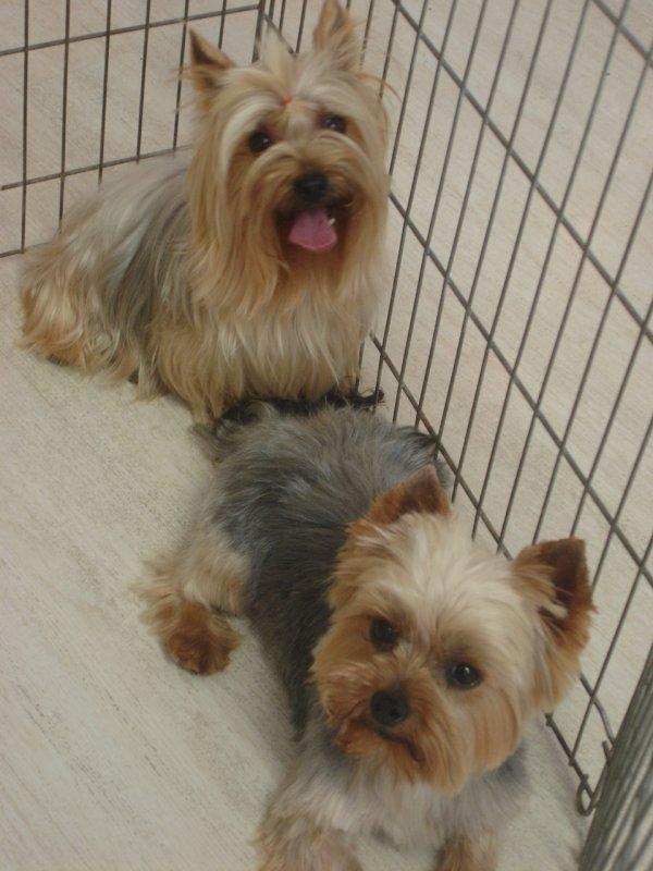 CADOR le Yokshire Terrier en coupe ciseaux; et sa chérie CANDY en entretien poils longs