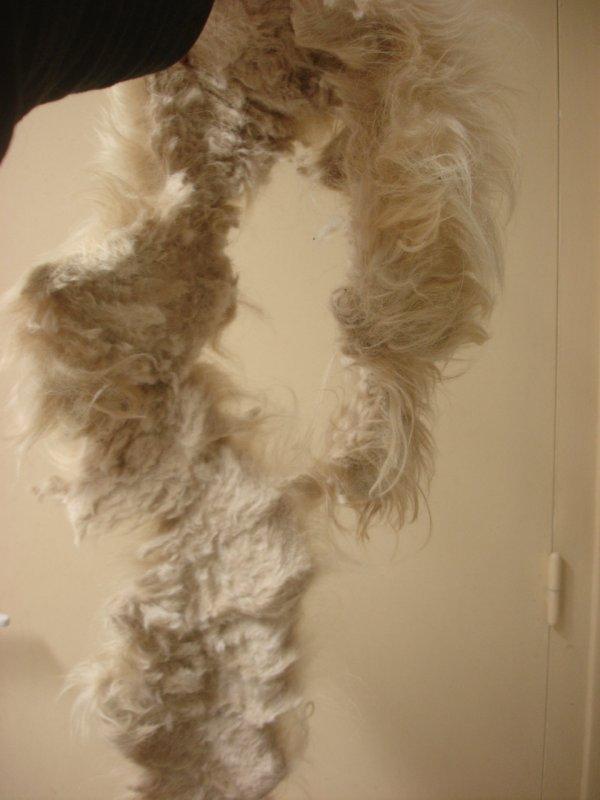 Petit Llhassa Apso, qui a retirer son manteau d'hiver!!!