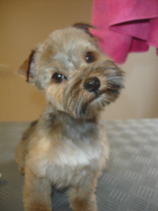Le trop mignon CHIFFON, chiot Yorkshire Terrier croisé Lhassa Apso