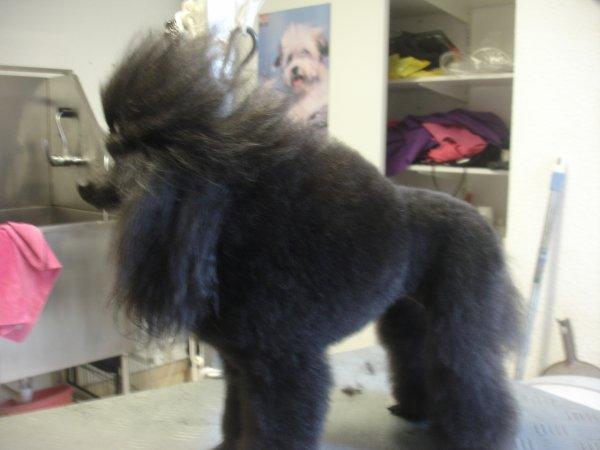 CATHY, la Caniche Toy noire, prête pour l'expo!