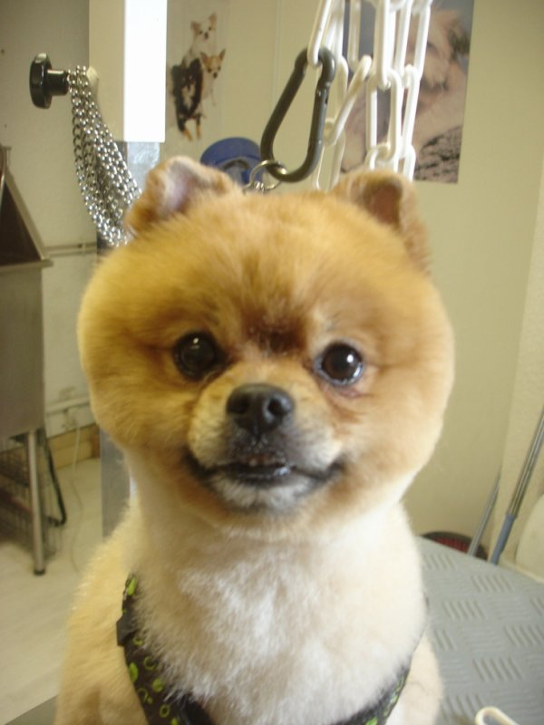 "CHARLY le Spitz nain en coupe ""Boo"" (<--- taper ""spitz boo"" sur google!)"