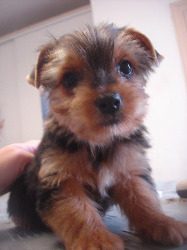 HIZIE petite femelle Yorkshire terrier de 8 semaines!